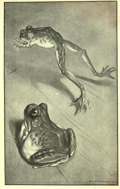 An illustration for the story The Celebrated Jumping Frog of Calaveras County by the author Mark Twain